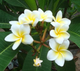 magnoliya1.jpg